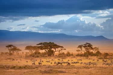 African Savannah. The foot of Mount Kilimanjaro. African animals