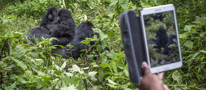 A gorilla family in the Bwindi Impenetrable National Park